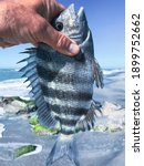 Sheepshead fish in the hands of a man against the background of the sea