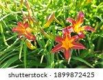 Hemerocallis Hybrida  Daylily...