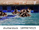 Egyption Goose Goslings In A...