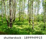 Birch Grove With Untouched...