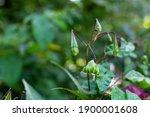 Himalayan Balm Seeds  Impatiens ...