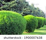 Small photo of A row of spherically trimmed lush juniper shrub hedges growing on lawn in the front of a row of fir trees with a couple of power poles under sunshine in spring
