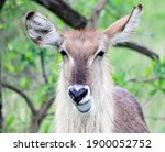 An Antelope With Its Tongue...