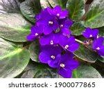 Vibrant Purple Blue African...