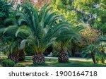 Beautiful Palm Tree Canary...