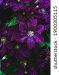 Purple Clematis Flowers In...