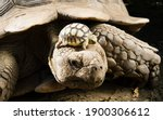 A Large Turtle With A Small...