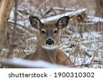 White Tailed Doe Bedded Down In ...