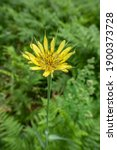 Yellow Salsify Also Known As...