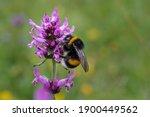 The large garden bumblebee or ruderal bumblebee (Bombus ruderatus) , beatiful photo