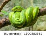 The Green Tree Python  Morelia...