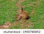 Guinea Baboon  Papio Papio. It...