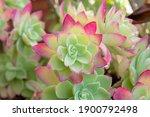 Echeveria Plant Green In The...