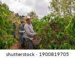 Farmers Harvest Coffee On...