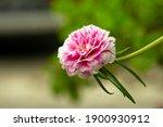 Portulaca Grandiflora  Moss...