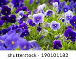Violas Or Pansies Closeup In A...