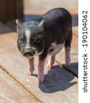A Baby Potbelly Pig On A...