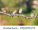 Sparrows Sit On A Branch One Of ...