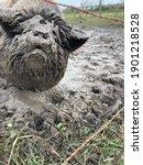 Small photo of Kune Kune Pig in Muddy Wallow