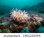 A Changeable Anemone  Anemonia...