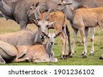 A Herd Of Eland Antelope...