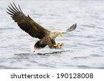 White Tailed Eagle Catching...
