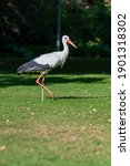 White Stork  Ciconia Ciconia ...