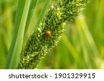 Insect On Leaf Of Rice And...