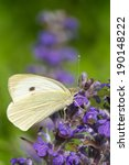 Cabbage Butterfly Closeup On A...