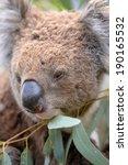 an australian koala in its... | Shutterstock . vector #190165532