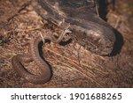 A closeup of a venomous snake...