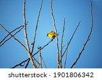 Yellow Southern Masked Weaver...