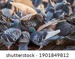 Flock Of Colorful Urban Pigeons ...