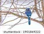 Blue Jay Bird Perched On Bare...