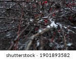 Bush With Red Berries And Snow...
