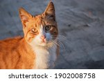 cute and sweet yellow cat on... | Shutterstock . vector #1902008758