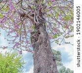 Blooming Judas Tree  Cercis...