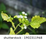 White Weed Commonly  Siam Weed  ...