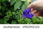 Butterfly Pea Flower Harvest...