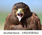 The Field Eagle  The Bald...