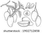 set of mango fruit hand drawn... | Shutterstock .eps vector #1902712858