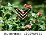 Eastern Giant Swallowtail...
