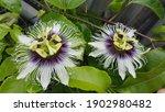 Passion Fruit Vine Flower Plant