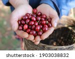 Small photo of organic arabica coffee harvest farmer hand in farm.harvesting Robusta and arabica coffee berries by agriculturist hands,Worker Harvest arabica coffee berries on its branch, harvest concept.