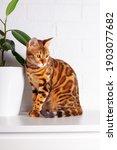 Amazing Bengal Cat In Home...