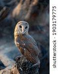 Portrait Of Barn Owl  Barn Owl...