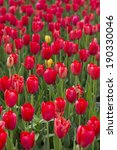 beautiful spring tulips in the... | Shutterstock . vector #190330046