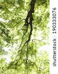 zelkova trees of the fresh green | Shutterstock . vector #190333076