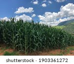 Cornfield With Mountain In The...