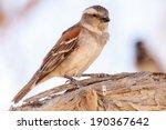 Female Sociable Weaver Bird At...